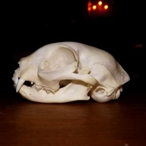 DSH Skull