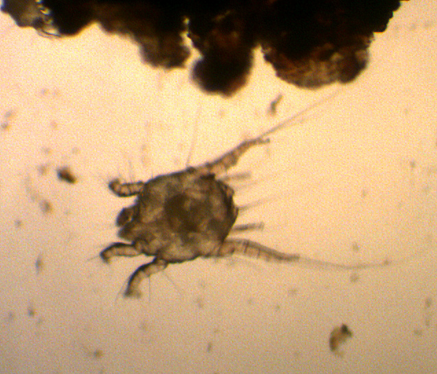 Mites In Pets