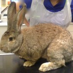 Rabbit vaccinations