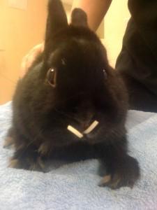 rabbit overgrown teeth