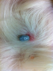 Dog Biting Skin Tag