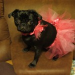 Pugs Can't Dance… and Other Canine Confusions