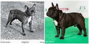 French bulldog now and then