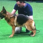 This is the 'correct' way, in the show world. for a German Shepherd