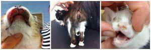 flea montage, anemic kitten, FAD, eosinophillic cat